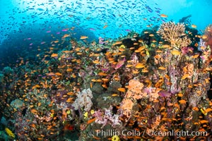 Anthias fishes school in strong currents over a Fijian coral reef, with various hard and soft corals, sea fans and anemones on display. Fiji. Fiji, Pseudanthias, natural history stock photograph, photo id 34855