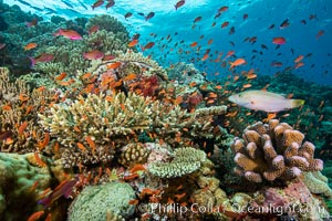 Anthias fishes school in strong currents over a Fijian coral reef, with various hard and soft corals, sea fans and anemones on display. Fiji, Pseudanthias