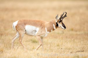 The Pronghorn antelope is the fastest North American land animal, capable of reaching speeds of up to 60 miles per hour. The pronghorns speed is its main defense against predators. Lamar Valley, Yellowstone National Park, Wyoming, USA, Antilocapra americana, natural history stock photograph, photo id 19629
