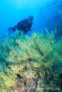 Black coral and diver. Isla Champion, Galapagos Islands, Ecuador, Antipathidae, natural history stock photograph, photo id 05706