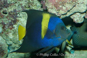 Arabian angelfish., Pomacanthus asfur, natural history stock photograph, photo id 08649