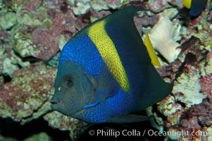 Arabian angelfish, Pomacanthus asfur