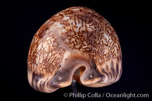 Arabian Cowrie, Cypraea arabica grayana, natural history stock photograph, photo id 07987