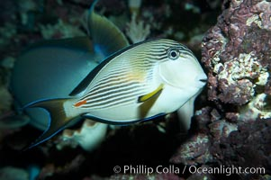 Image 11762, Arabian surgeonfish., Acanthurus sohal, Phillip Colla, all rights reserved worldwide. Keywords: acanthurus sohal, animal, arabian surgeonfish, creature, fish, marine, marine fish, nature, ocean, sea, sohal surgeonfish, sohal tang, surgeonfish, teleost fish, underwater, wildlife.