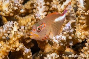 Arc-eye Hawkfish, Paracirrhites arcatus, Fiji, Paracirrhites arcatus, Namena Marine Reserve, Namena Island