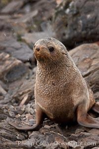 Antarctic fur seal, Arctocephalus gazella, Hercules Bay