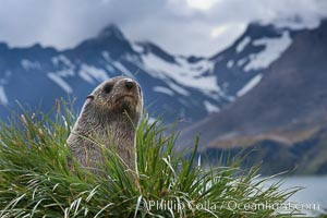 Antarctic fur seal on tussock grass, with the mountains of South Georgia Island and Fortuna Bay in the background, Arctocephalus gazella