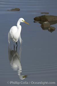 Great egret (white egret). Upper Newport Bay Ecological Reserve, Newport Beach, California, USA, Ardea alba, natural history stock photograph, photo id 15656