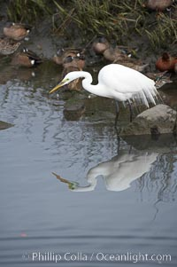Great egret (white egret). Upper Newport Bay Ecological Reserve, Newport Beach, California, USA, Ardea alba, natural history stock photograph, photo id 15662