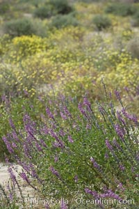 Lupine color the floor of the Borrego Valley in spring.  Heavy winter rains led to a historic springtime bloom in 2005, carpeting the entire desert in vegetation and color for months, Lupinus arizonicus, Anza-Borrego Desert State Park, Borrego Springs, California