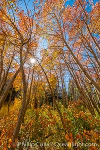 Aspen grove, Dunderberg Meadows, eastern Sierra Nevada. Sierra Nevada Mountains, California, USA, natural history stock photograph, photo id 35834