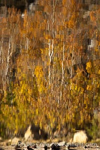 Aspen trees, fall colors, reflected in the still waters of North Lake, Populus tremuloides, Bishop Creek Canyon Sierra Nevada Mountains