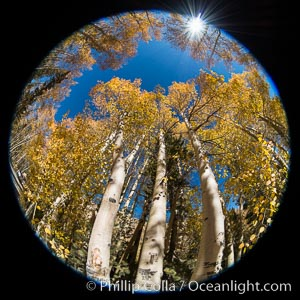 Turning aspen trees in Autumn, South Fork of Bishop Creek Canyon, Bishop Creek Canyon, Sierra Nevada Mountains