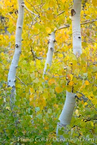 Aspen trees display Eastern Sierra fall colors, Lake Sabrina, Bishop Creek Canyon. Bishop Creek Canyon, Sierra Nevada Mountains, Bishop, California, USA, Populus tremuloides, natural history stock photograph, photo id 17498