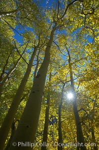 Aspen trees display Eastern Sierra fall colors, Lake Sabrina, Bishop Creek Canyon. Bishop Creek Canyon, Sierra Nevada Mountains, Bishop, California, USA, Populus tremuloides, natural history stock photograph, photo id 17511