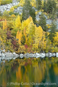 Aspen trees display Eastern Sierra fall colors, Lake Sabrina, Bishop Creek Canyon. Bishop Creek Canyon, Sierra Nevada Mountains, California, USA, Populus tremuloides, natural history stock photograph, photo id 17541