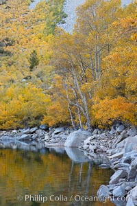 Aspen trees display Eastern Sierra fall colors, Lake Sabrina, Bishop Creek Canyon. Bishop Creek Canyon, Sierra Nevada Mountains, Bishop, California, USA, Populus tremuloides, natural history stock photograph, photo id 17542