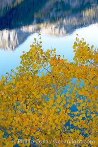 Aspen trees display Eastern Sierra fall colors, Lake Sabrina, Bishop Creek Canyon. Bishop Creek Canyon, Sierra Nevada Mountains, Bishop, California, USA, Populus tremuloides, natural history stock photograph, photo id 17544