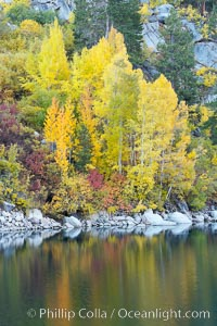 Aspen trees display Eastern Sierra fall colors, Lake Sabrina, Bishop Creek Canyon. Bishop Creek Canyon, Sierra Nevada Mountains, Bishop, California, USA, Populus tremuloides, natural history stock photograph, photo id 17590