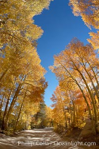 Aspen trees displaying fall colors rise above a High Sierra road near North Lake, Bishop Creek Canyon, Populus tremuloides, Bishop Creek Canyon, Sierra Nevada Mountains