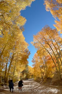 Aspen trees displaying fall colors rise above a High Sierra road near North Lake, Bishop Creek Canyon. Bishop Creek Canyon, Sierra Nevada Mountains, California, USA, Populus tremuloides, natural history stock photograph, photo id 17523