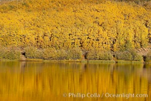 Aspens changing into fall colors, yellow and orange, are reflected in North Lake in October, Bishop Creek Canyon, Eastern Sierra. Bishop Creek Canyon, Sierra Nevada Mountains, Bishop, California, USA, Populus tremuloides, natural history stock photograph, photo id 17538