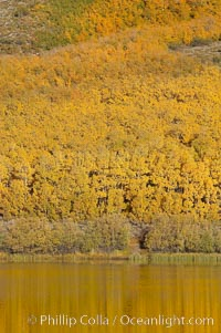Aspens changing into fall colors, yellow and orange, are reflected in North Lake in October, Bishop Creek Canyon, Eastern Sierra. Bishop Creek Canyon, Sierra Nevada Mountains, Bishop, California, USA, Populus tremuloides, natural history stock photograph, photo id 17539