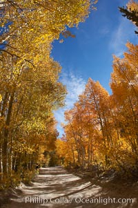 Aspen trees displaying fall colors rise alongside a High Sierra road near North Lake, Bishop Creek Canyon, Populus tremuloides, Bishop Creek Canyon, Sierra Nevada Mountains
