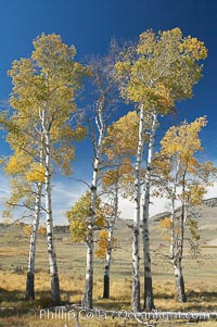 Aspens turning yellow in fall, Lamar Valley, Yellowstone National Park, Wyoming