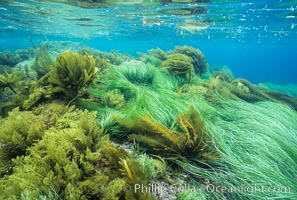 Assorted lowlying kelps, including surf grass and southern palm kelp, Catalina Island