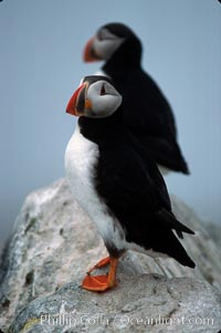 Atlantic puffin, mating coloration. Machias Seal Island, Maine, USA, Fratercula arctica, natural history stock photograph, photo id 03143