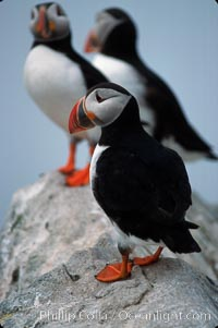 Atlantic puffin, mating coloration. Machias Seal Island, Maine, USA, Fratercula arctica, natural history stock photograph, photo id 03144