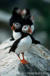 Atlantic puffin, mating coloration, Fratercula arctica, Machias Seal Island