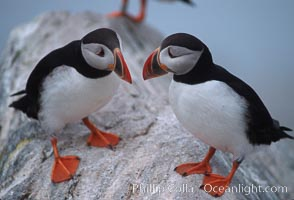 Image 03151, Atlantic puffin, mating coloration. Machias Seal Island, Maine, USA, Fratercula arctica, Phillip Colla, all rights reserved worldwide. Keywords: alcidae, animal, animalia, arctica, atlantic puffin, aves, bird, charadriiformes, chordata, common puffin, fratercula, fratercula arctica, machias seal island, maine, puffin, usa, vertebrata, vertebrate.