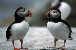 Image 03136, Atlantic puffin, mating coloration. Machias Seal Island, Maine, USA, Fratercula arctica, Phillip Colla, all rights reserved worldwide. Keywords: alcidae, animal, animalia, arctica, atlantic puffin, aves, bird, charadriiformes, chordata, common puffin, fratercula, fratercula arctica, machias seal island, maine, puffin, usa, vertebrata, vertebrate.
