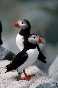 Image 03141, Atlantic puffin, mating coloration. Machias Seal Island, Maine, USA, Fratercula arctica, Phillip Colla, all rights reserved worldwide. Keywords: alcidae, animal, animalia, arctica, atlantic puffin, aves, bird, charadriiformes, chordata, common puffin, fratercula, fratercula arctica, machias seal island, maine, puffin, usa, vertebrata, vertebrate.