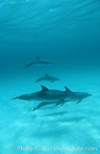 Atlantic spotted dolphin. Bahamas, Stenella frontalis, natural history stock photograph, photo id 06229