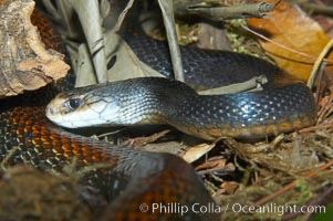 The Australian taipan snake is considered one of the most venomous snakes in the world., Oxyuranus scutellatus, natural history stock photograph, photo id 12626