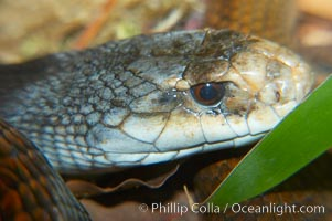 The Australian taipan snake is considered one of the most venomous snakes in the world., Oxyuranus scutellatus, natural history stock photograph, photo id 12629