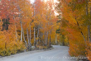 Aspen trees displaying fall colors rise alongside a High Sierra road near North Lake, Bishop Creek Canyon. Bishop Creek Canyon, Sierra Nevada Mountains, Bishop, California, USA, Populus tremuloides, natural history stock photograph, photo id 17537