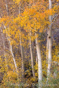 Fall colors and turning aspens, eastern Sierra Nevada, Populus tremuloides, Bishop Creek Canyon Sierra Nevada Mountains