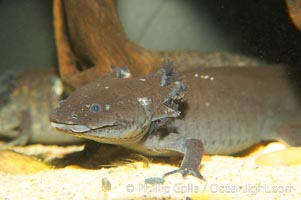Axolotl.  Axolotls are neotenic, which means they attain reproductive maturity while still in their larval form.  Axolotls are extremely endangered in the wild and protected by law., Ambystoma mexicanum, natural history stock photograph, photo id 13982