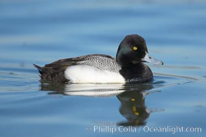 Lesser scaup, male, breeding plumage, Aythya affinis, Mission Bay, San Diego, California