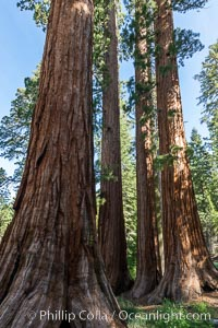 The Bachelor and Three Graces giant sequoia trees. Giant sequoia trees (Sequoiadendron giganteum), roots spreading outward at the base of each massive tree, rise from the shaded forest floor. Mariposa Grove, Yosemite National Park