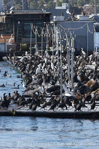 Bait dock, covered with seabirds and California sea lions, San Diego