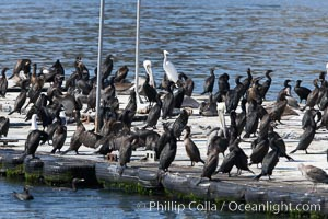 Bait dock, covered with seabirds, San Diego, California