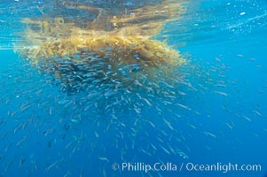 Baitfish schooling amid drift kelp, open ocean, San Diego, California