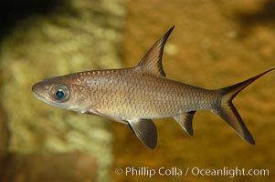 Image 09321, Bala shark, a freshwater fish native to the rivers of Thailand, Borneo and Sumatra, grows to about 14 inches long., Balantiocheilus melanopterus