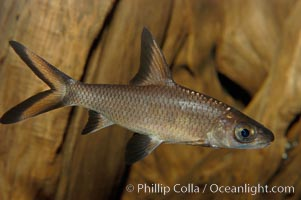 Image 09324, Bala shark, a freshwater fish native to the rivers of Thailand, Borneo and Sumatra, grows to about 14 inches long., Balantiocheilus melanopterus, Phillip Colla, all rights reserved worldwide.   Keywords: animal:bala shark:balantiocheilus melanopterus:fish:freshwater fish:silver shark:tricolor sharkminnow:underwater.