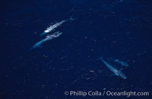 Blue whales: adult pair (upper left), mother/calf pair (lower right),  Baja California (Mexico), Balaenoptera musculus